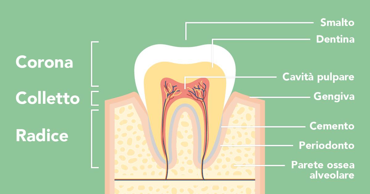 Anatomia e struttura del dente