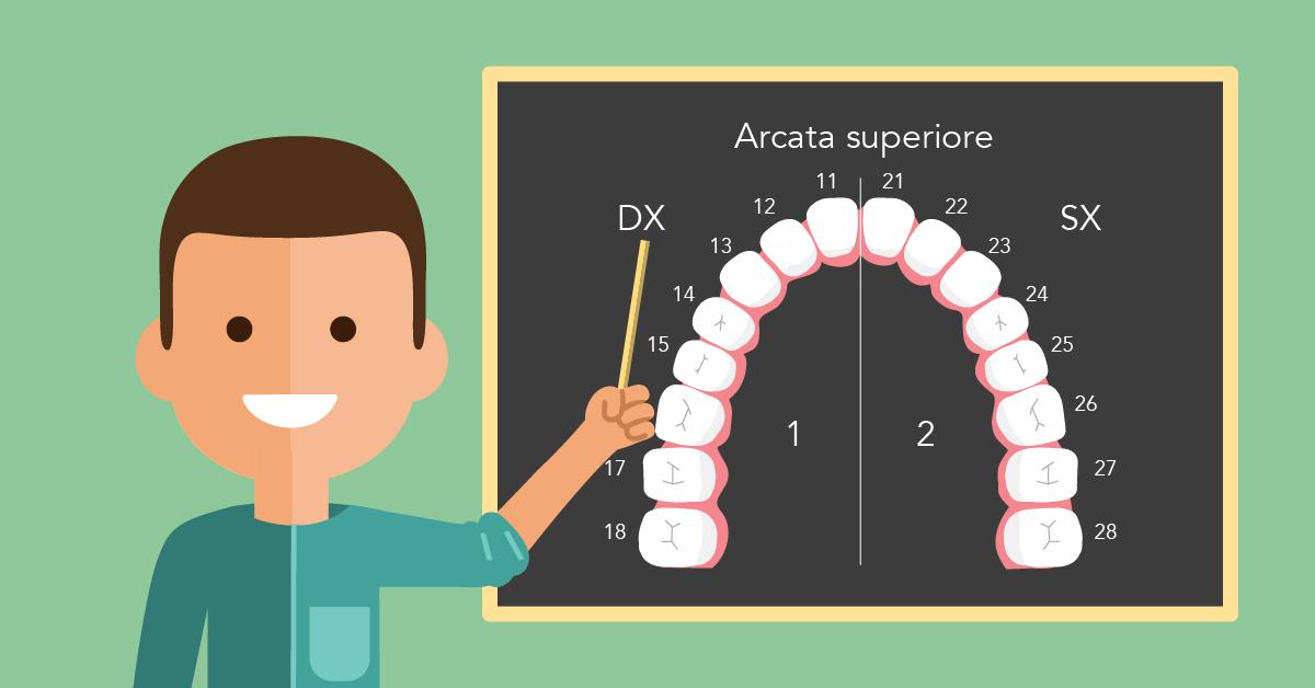 Numerazione e nomi dei denti qual il nome dei denti e for Quanti sono i membri del parlamento italiano